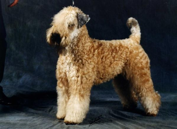 CH GER Wheaten Rebel'S Beauty