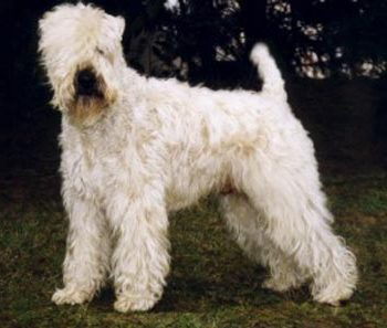 CH INT,GER,AUS Wheaten Rebel'S Sir Charly