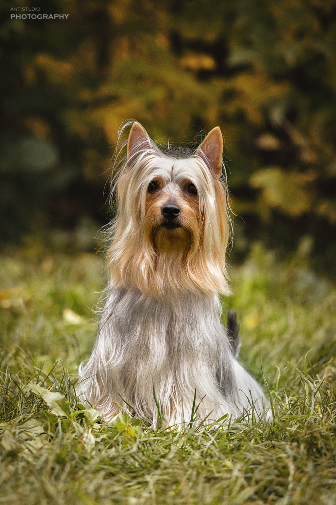 Cramons Absolute Winner, silky terrier